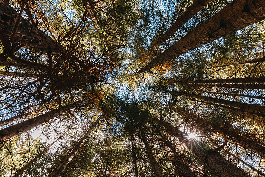 Korony wysokich drzew widziane z dołu